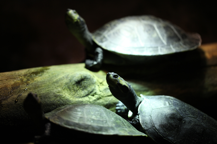 turtles_ambweb
